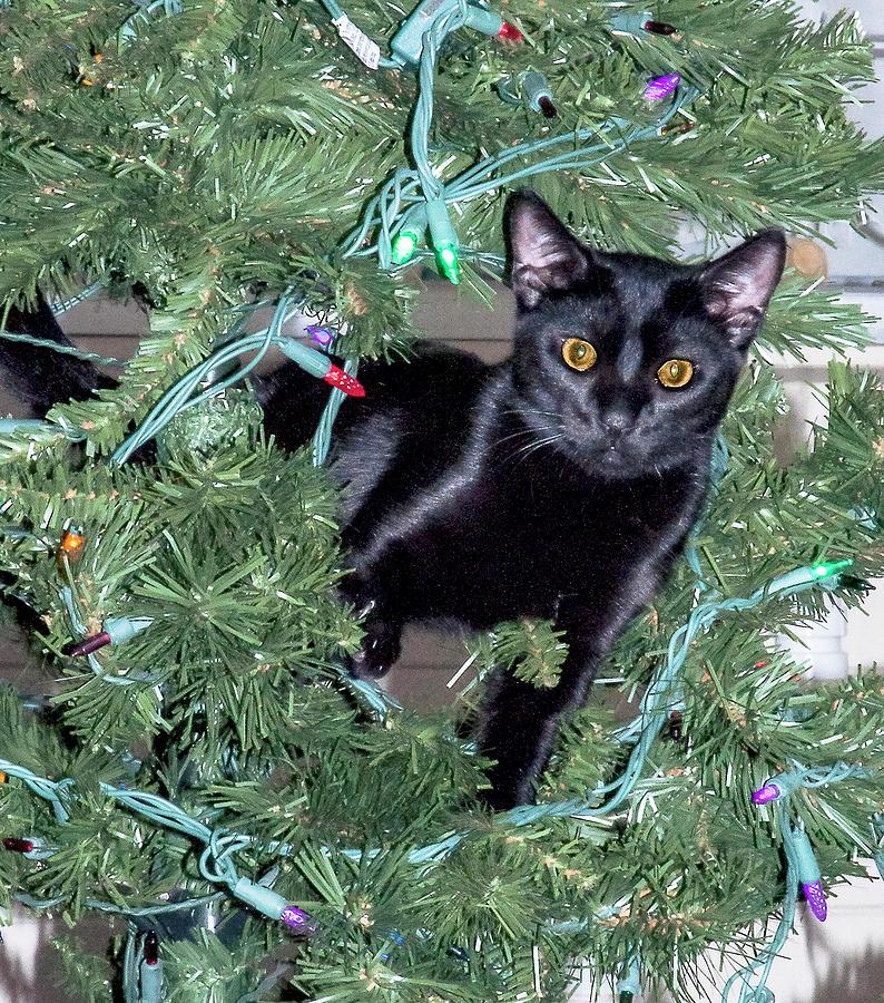 Kitten Photograph - Christmas Tree Cat by Norman Johnson