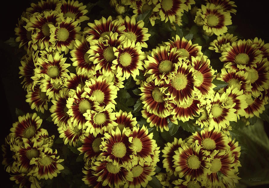 Yellow Flowers Photograph - Chrysanthemums  by Norma A Lahens