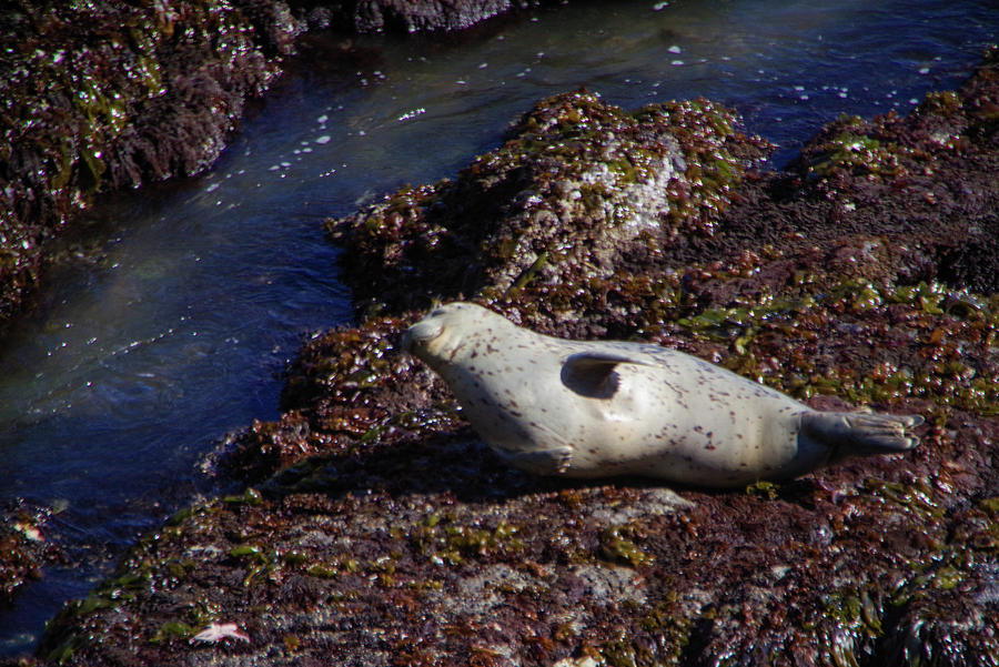 Harbor Seal Photograph - Chubby harbor seal by Jeff Swan