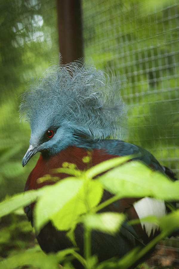 Chubby Scheepmakers Crowned Pigeon - I Am Not Here Photograph