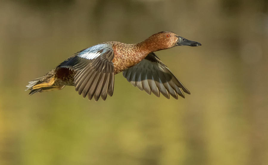 Cinnamon Teal 3769-011120-2 by Tam Ryan