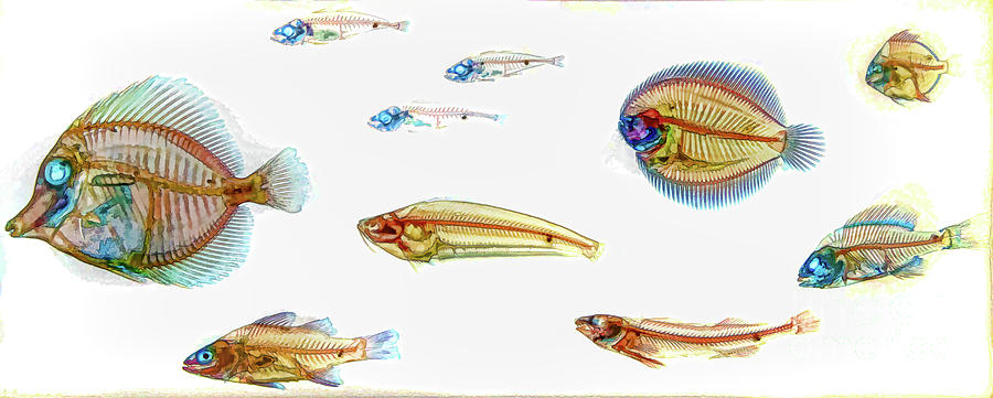 Clarified And Stained Fish Specimens D A by Kevin Anderson