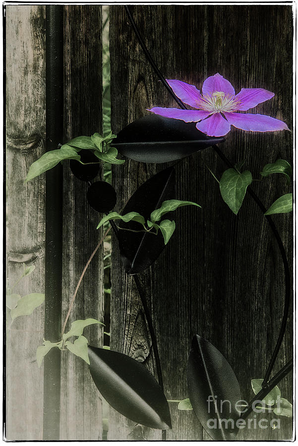 Clematis #2 Photograph by John Strong