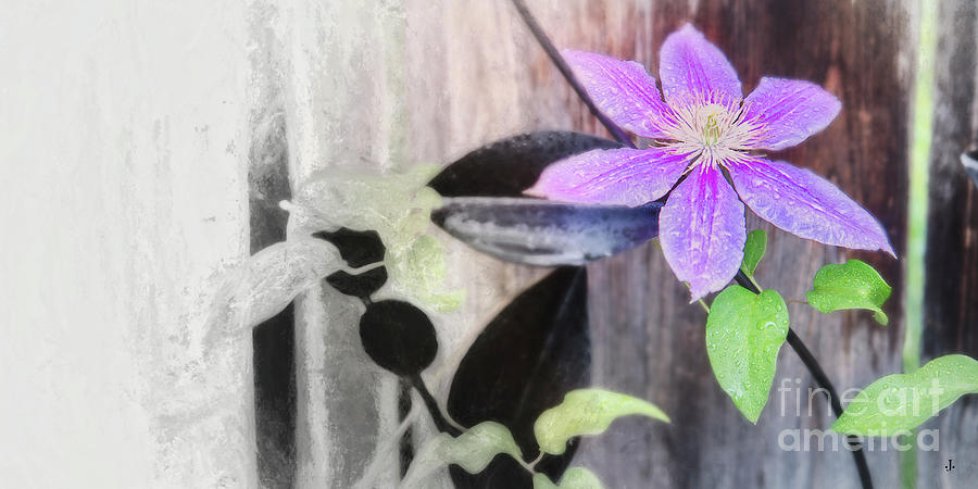 Clematis #3 Photograph by John Strong