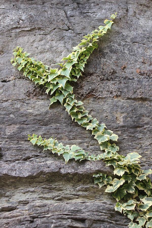 Ivy Photograph - Climbing Vine by Callen Harty