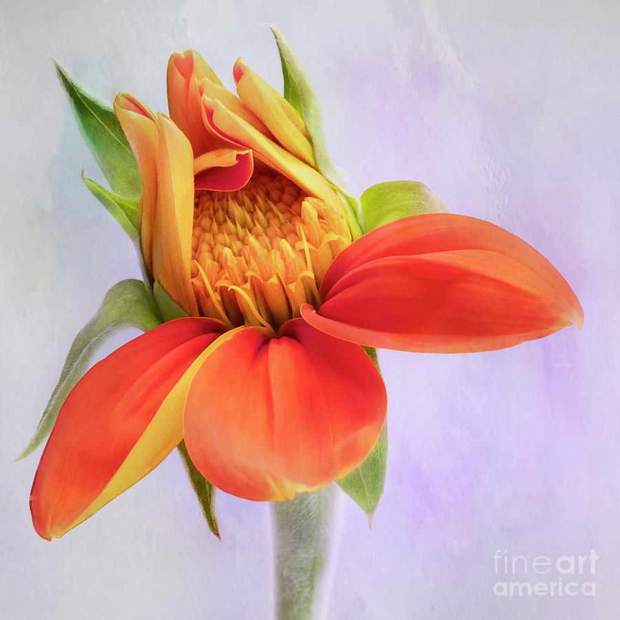 Close Up Mexican Sunflower Photograph