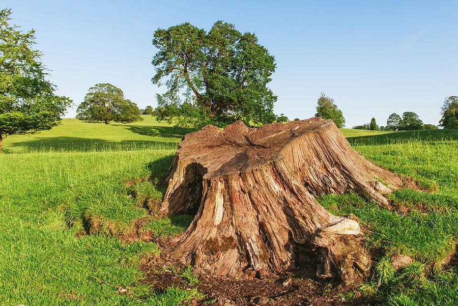 close up of a Large tree stump in Dallam Park Milnthorpe UK Photograph