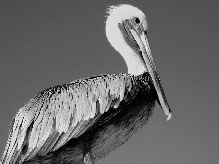 Close-up of a pelican Photograph by Teresa Simmons / FOAP