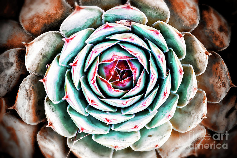Close-up of beautiful and colorful sempervivum succulent houseleek plant in spring season in march by Gregory DUBUS
