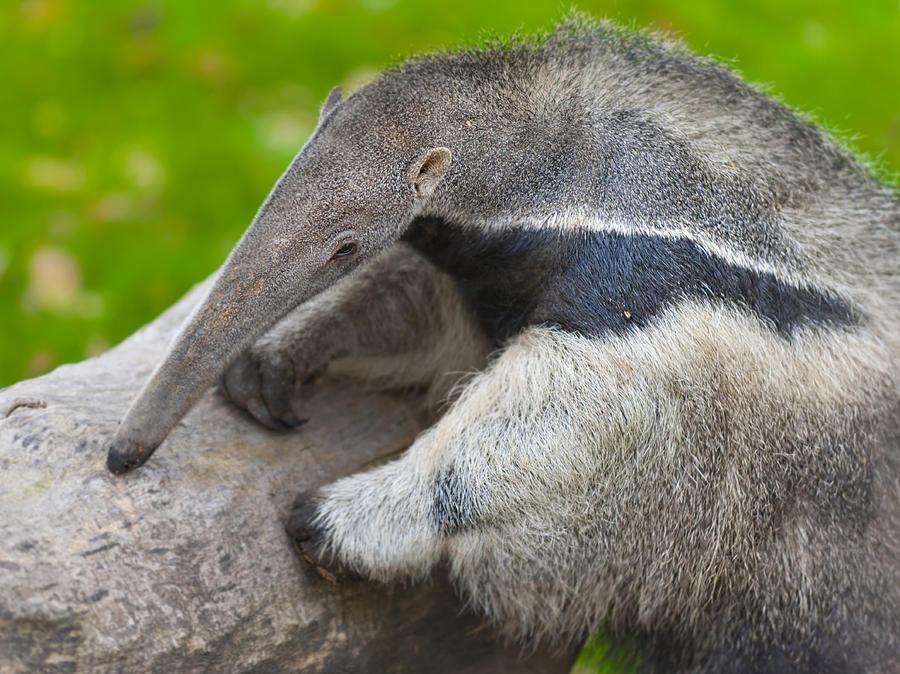 Close up of Giant Anteater. Myrmecophaga tridactyla Photograph by Daniel Hernanz Ramos