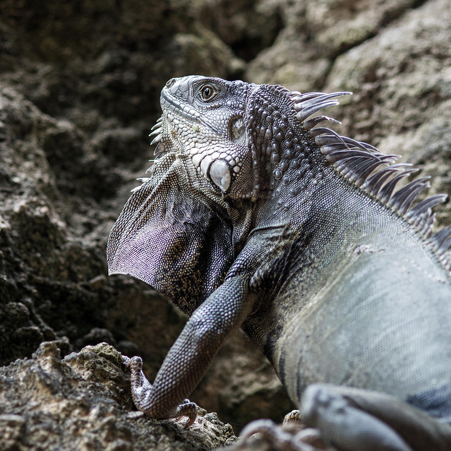 Close-Up Of Iguana On Rock Photograph by Tabor Chichakly / EyeEm
