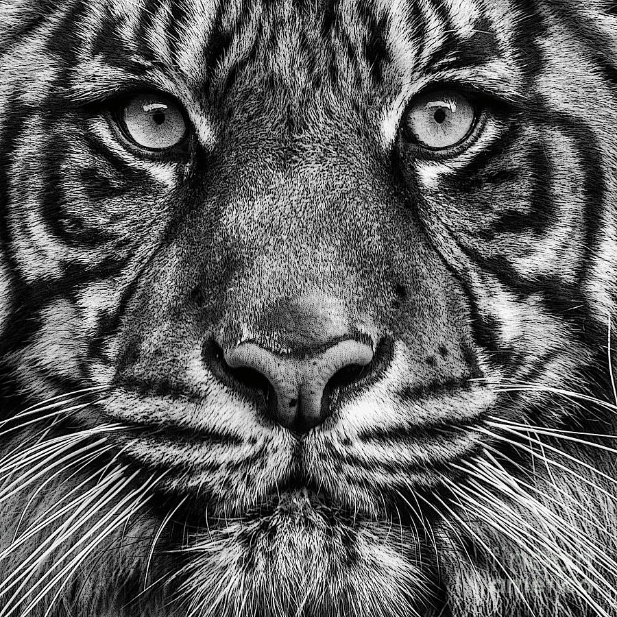Close up Tiger Portrait by Sonya Lang