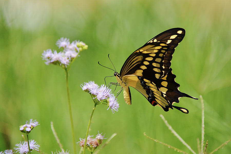 Close Up Yellow Swallowtail Butterfly Photograph