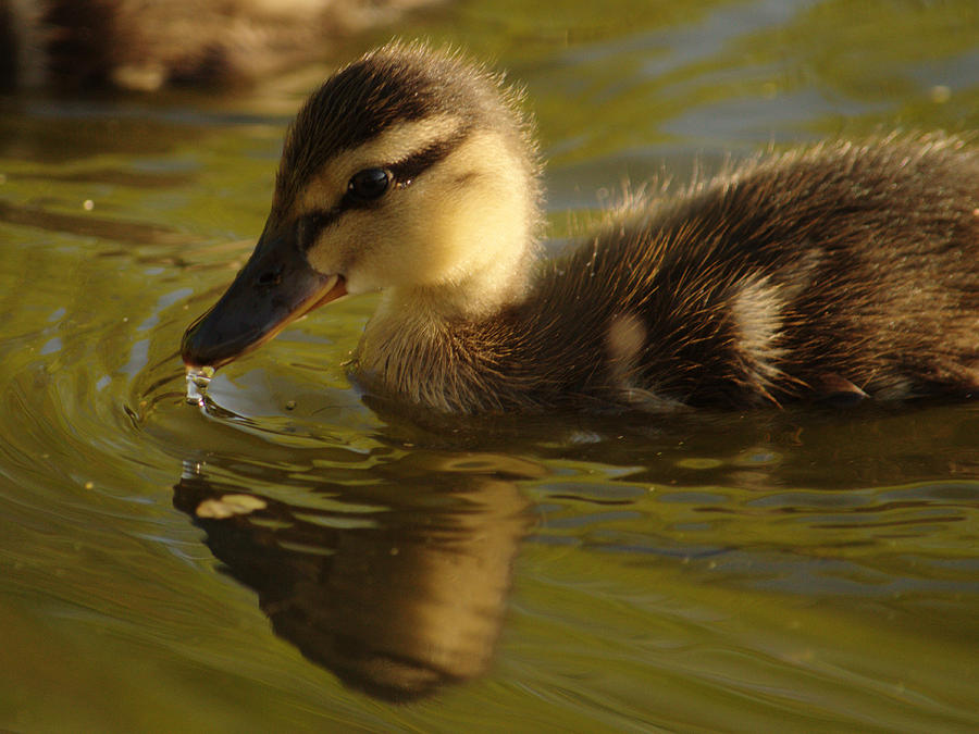 Closeup Duckling and Reflection by Adrian Wale