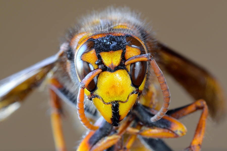 Closeup macro of Japanese giant hornet face Photograph by Kagenmi