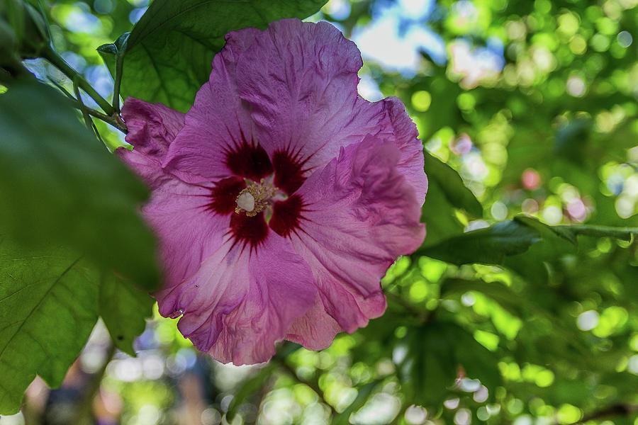 Closeup Of A Pink Hibiscus Photograph