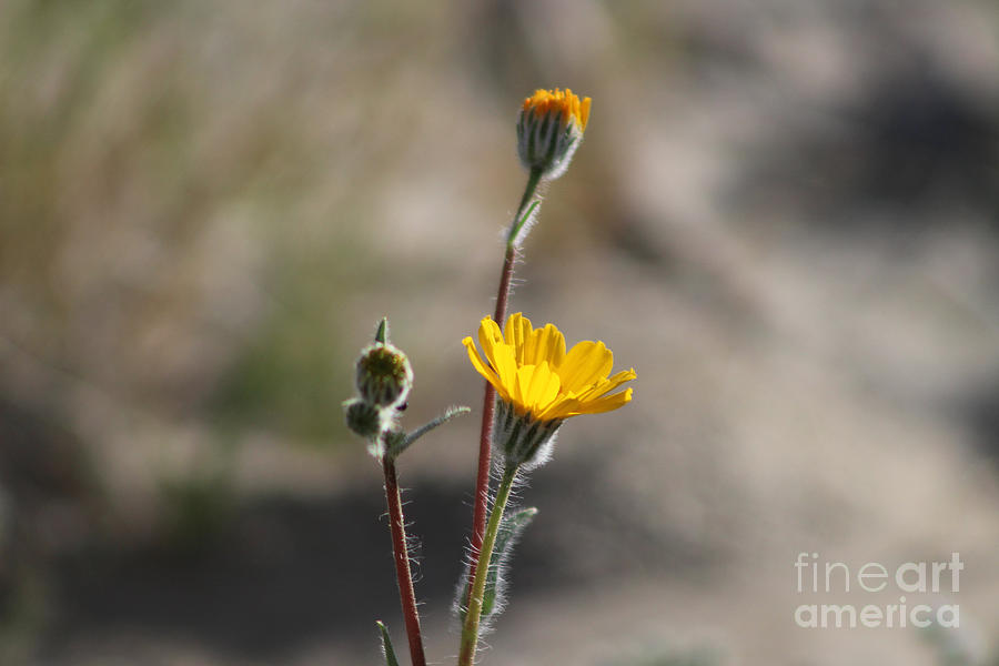 Closeup of Desert Sunflowers Coachella Valley Wildlife Preserve by Colleen Cornelius