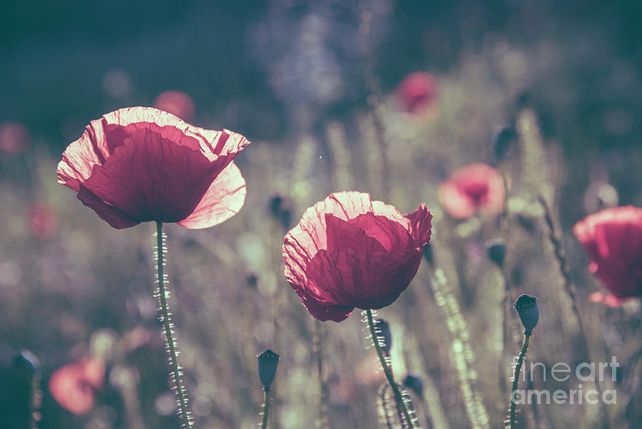 Closeup of poppies in field. by Jelena Jovanovic