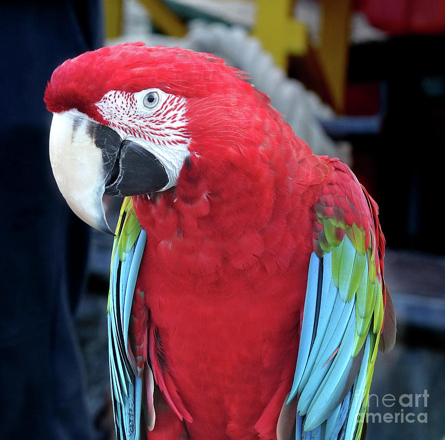 Closeup of Scarlet Macaw Parrot by Yali Shi