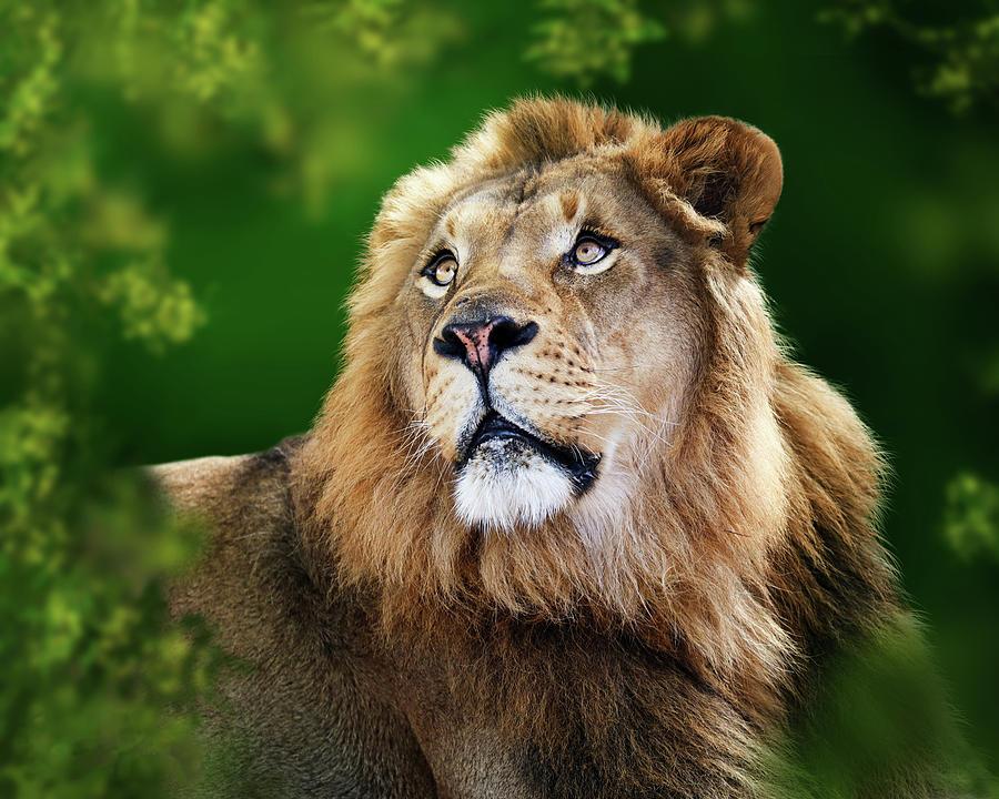 Closeup Young Male Lion by Susan Schmitz
