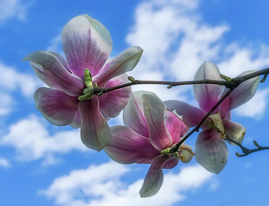 Magnolia Photograph - Cloud Hugging by Jerry LoFaro