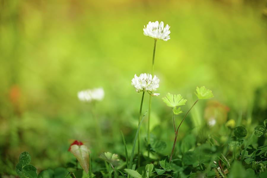 Clover Flower Photograph