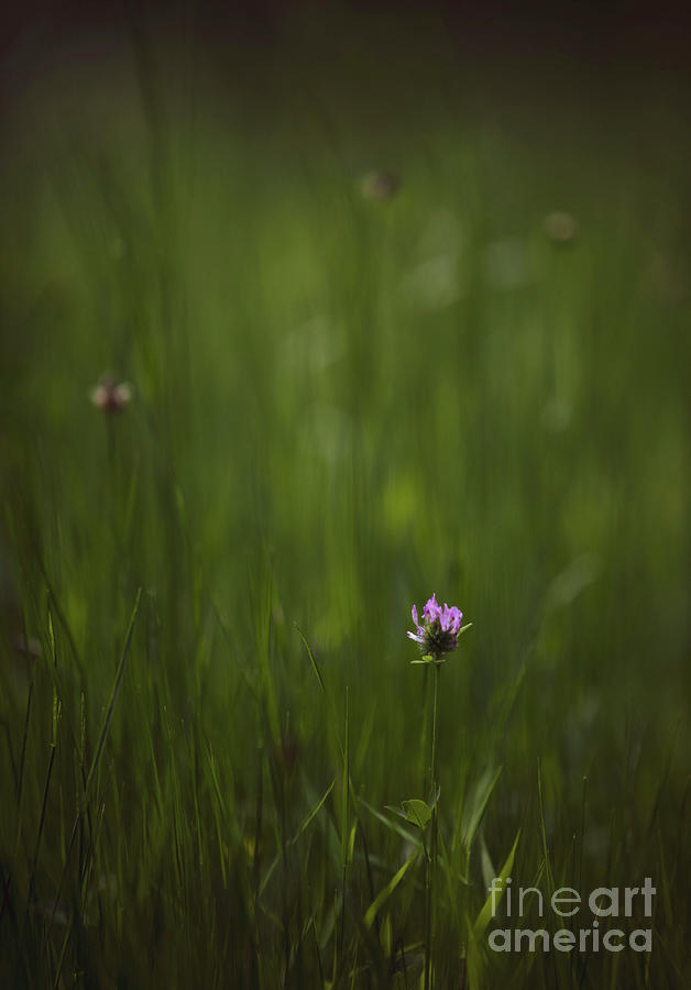 Clover In A Meadow Photograph