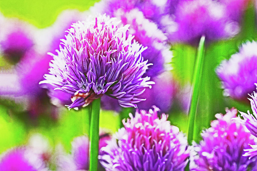 Clover Purple 2 8252020 2 692013 10 Photograph by David Frederick