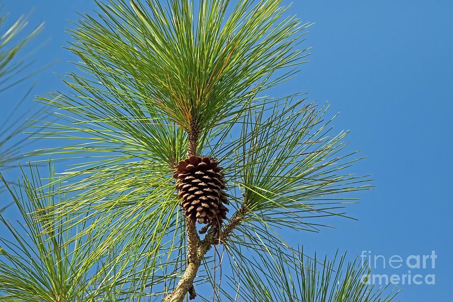 Pine Cone Photograph - Coastal Piney Woods Cone by Banyan Ranch Studios