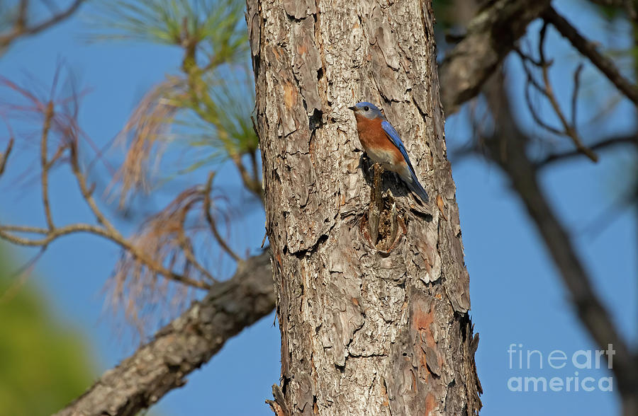 Eastern Bluebird Photograph - Coastal Retreat Bluebird by Banyan Ranch Studios