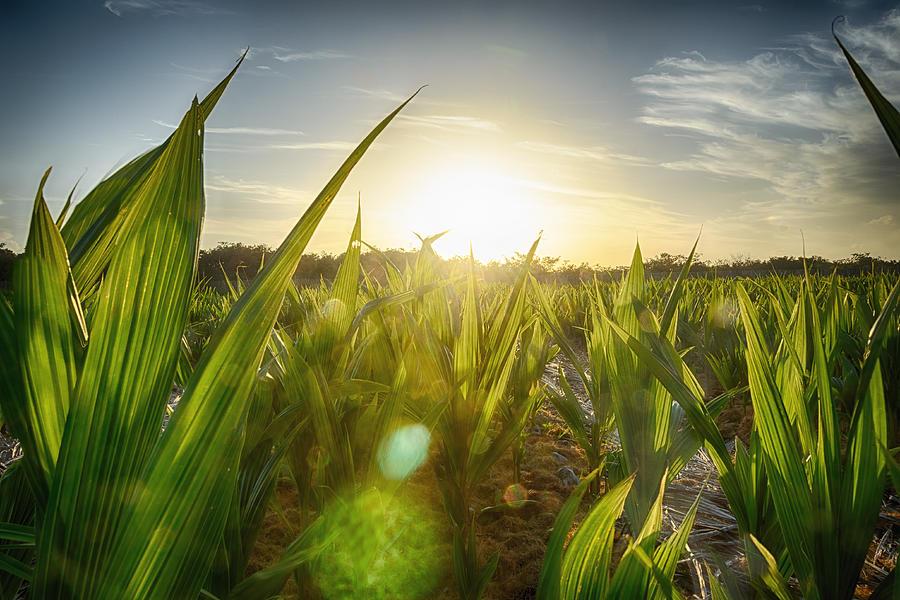 Coconut farm, Fortaleza, Brazil Photograph by /\/\itul Patel