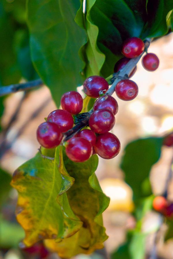 Coffea arabica berries on the bush Photograph by CRMacedonio