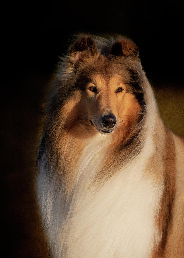 Collie Rough Portrait by Diana Andersen