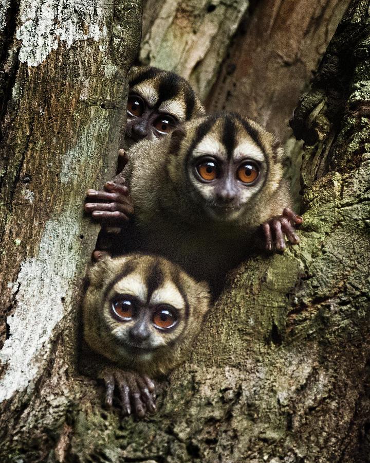 Colombian Night Monkey Kofan Puerto Asis Colombia by Adam Rainoff