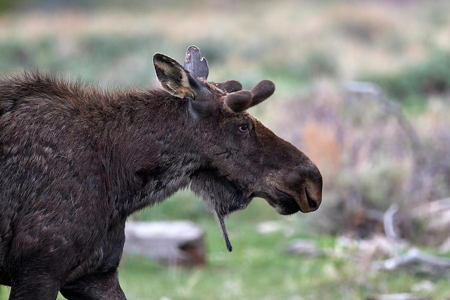 Colorado Moose by Paul Freidlund