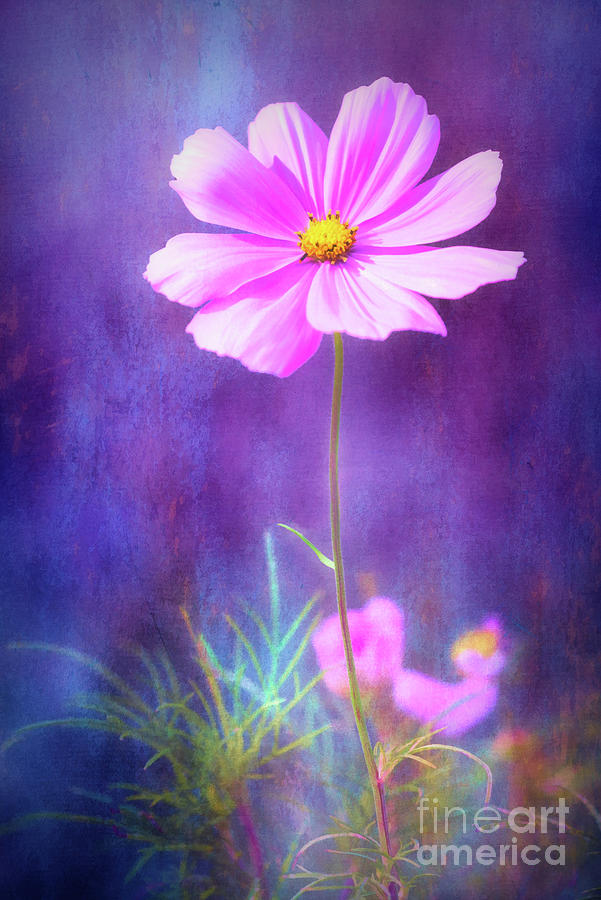 Colorful Cosmos by Anita Pollak