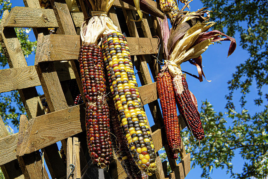 Colorful Ears Of Corn Photograph