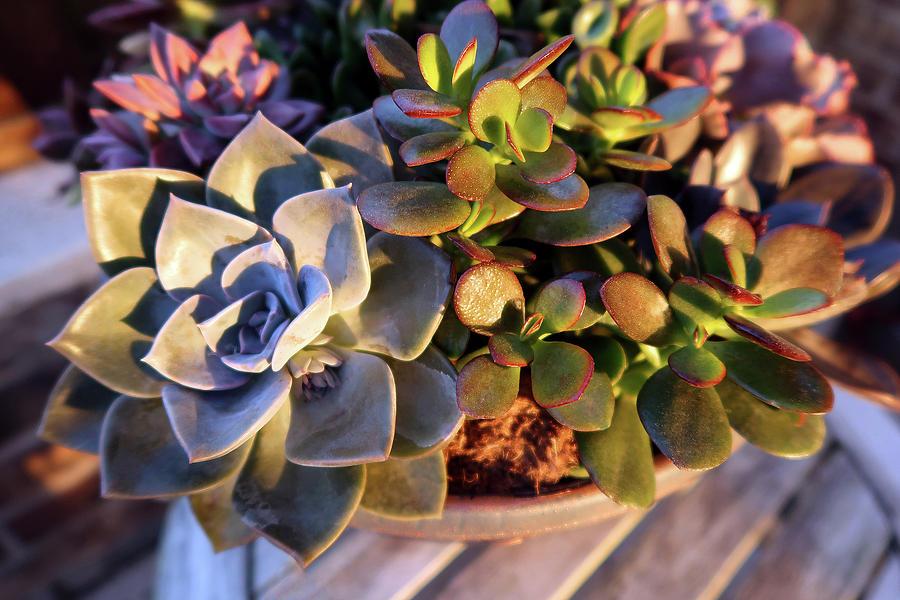 Colorful Succulents Photograph