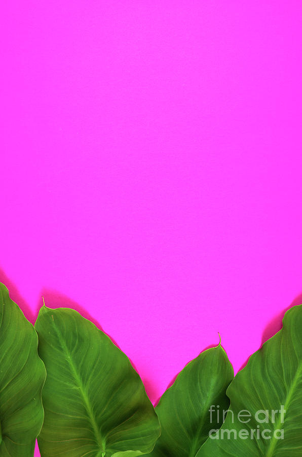 Colorful Summer Flat Lay With Tropical Leaves On Bright Pink Background Photograph By Milleflore Images Free for commercial use no attribution required high quality images. colorful summer flat lay with tropical leaves on bright pink background by milleflore images