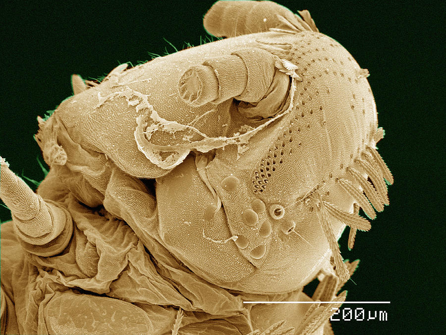 Coloured SEM of head of Polyxenus millipede Photograph by Gregory S. Paulson
