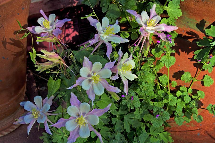 Columbine Bouquet Photograph