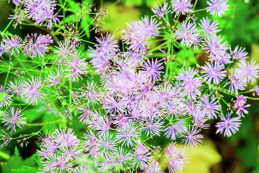 Columbine Meadow Rue Flower Thalictrum Aquilegifolium Is Native To Europe And Asia. Photograph