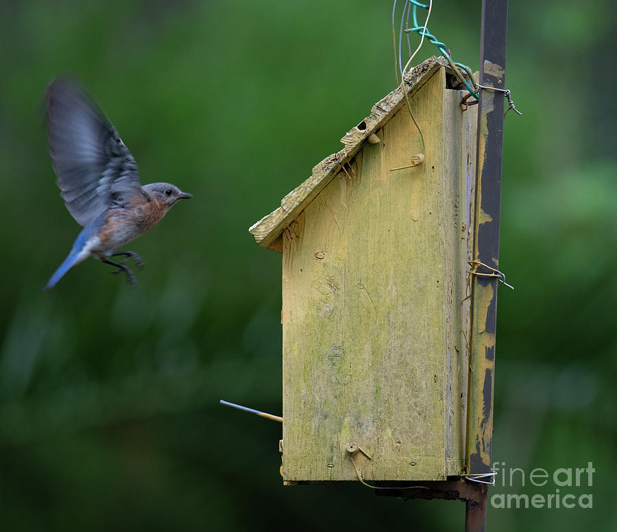 Coming In Hot - Eastern Blue Bird Photograph