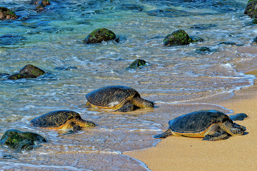 Green Sea Turtles Photograph - Coming In by Jim Thompson