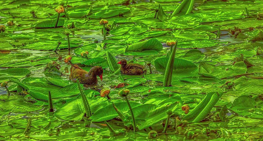 Common Moorhen #j0 Photograph