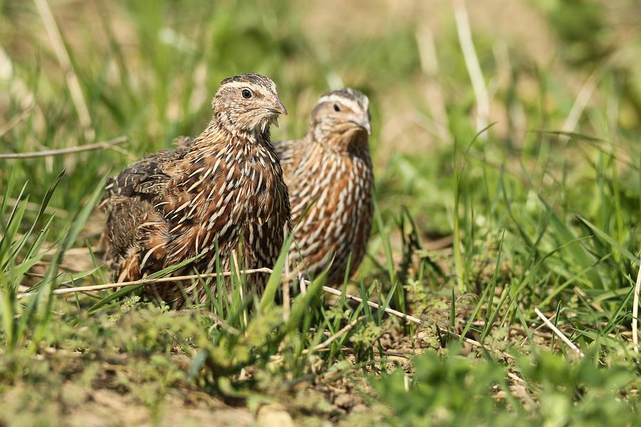 Common quails (Coturnix coturnix) Cock and hen in the field, Lower Austria, Austria Photograph by imageBROKER/Dieter Hopf