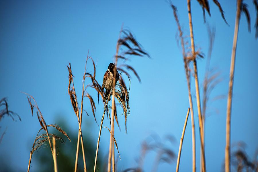 Common Reed Bunting #l1 Photograph
