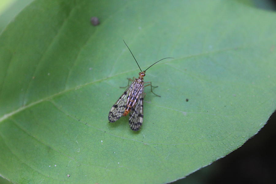 Scorpion Fly Photograph - Common Scorpion Fly by Callen Harty