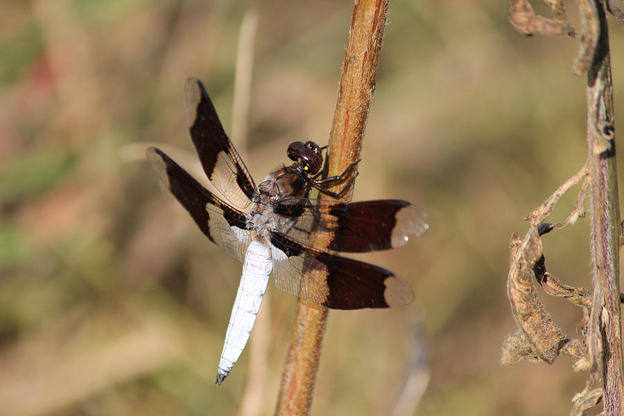 Dragonfly Photograph - Common Whitetail by Callen Harty