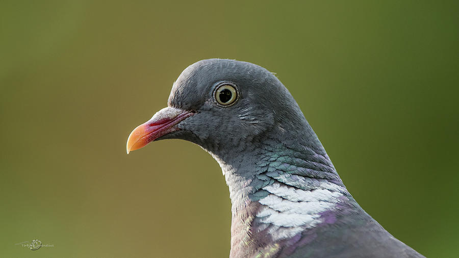 Common Wood Pigeon S Portrait Photograph